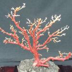 珊瑚原石買取